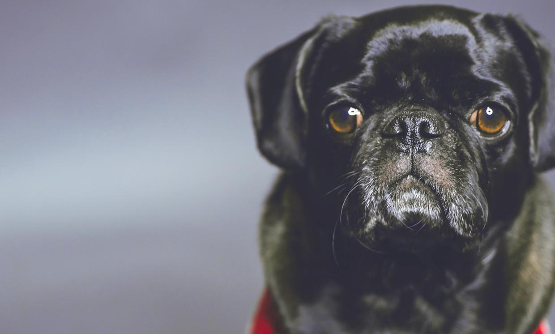 Hunderasse: Mops, © asingingwife - Pixabay